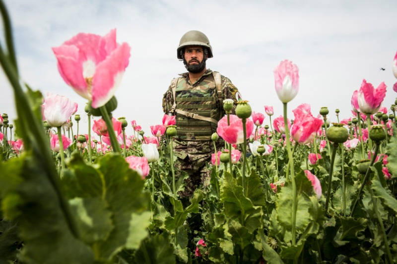 KANDAHAR, AFGHANISTAN - APRIL 5:  A soldier in the Afghan National Army's 6th Kandak (battalion), 3rd company walks through a poppy field during a joint patrol with the U.S. Army's 1st Battalion, 36th Infantry Regiment near Command Outpost Pa'in Kalay on April 5, 2013 in Kandahar Province, Maiwand District, Afghanistan. The United States military and its allies are in the midst of training and transitioning power to the Afghan National Security Forces in order to withdraw from the country by 2014.  (Photo by Andrew Burton/Getty Images)